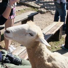 清境農場 的 羊